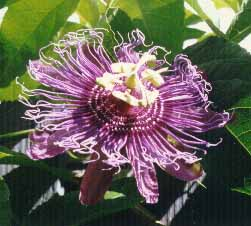 passiflora inscense